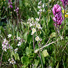 """<span style=""""color:yellow;"""">The white flowered plants are """"Mountain Death Camas (aka Elegant Camas).  Rosy Paintbrush at the side.........."""