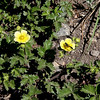 """Leafy Cinquefoil"" offers a reward to a pollinator"