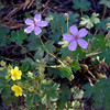 """Leafy Cinquefoil"" (yellow) and ""Pineywoods Geranium"""