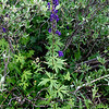 """Monkshood"" (aka Wolfbane)"