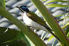 22/06/2014 - Blue-Faced Honeyeater in Brisbane