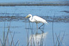26/01/2014 - Great Egret At Lake Munmorah