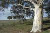 05/03/2014 - Paddock Tree With Seedlings