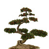Bonsai on white