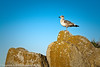 Seagull at Asilomar State Beach near Monterey, California, USA  Filename: CE4001590-Monterey-CA-USA.jpg