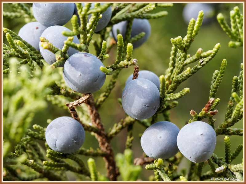 Juniper Tree Berries
