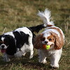 Poppy and Daisy chasing about after the ball at Glennifer Braes