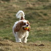 Poppy chasing about after the ball at Glennifer Braes