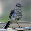 Wet Mockingbird View 1