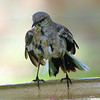 Wet Mockingbird View 2
