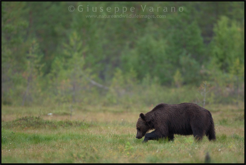 Brown Bear ( Ursus arctos )<br /> <br /> Finland<br /> <br /> Giuseppe Varano - Nature and Wildlife Images - Birds and Nature Photography