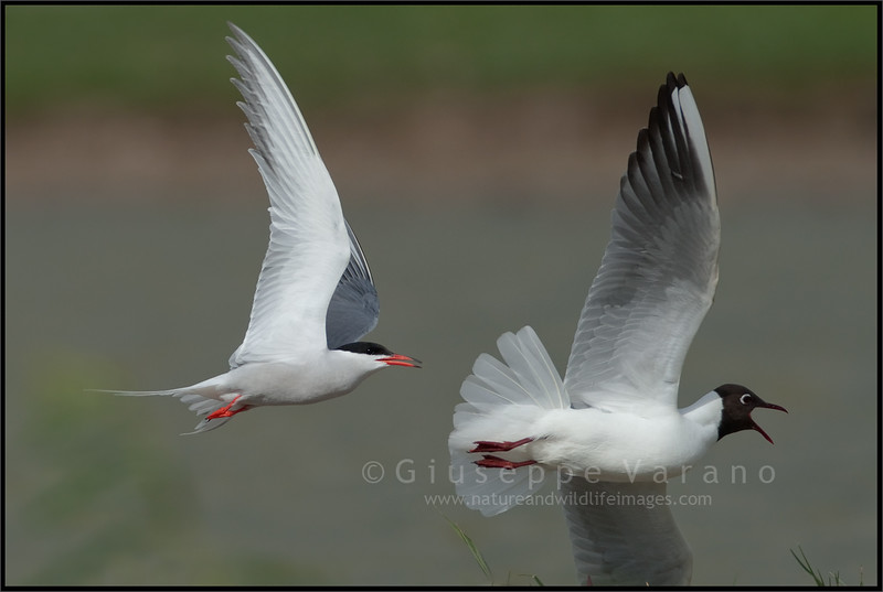 Sterna Comune - Common Tern ( Sterna hirundo ) <br /> <br /> Giuseppe Varano - Nature and Wildlife Images - Birds and Nature Photography