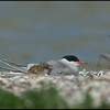 Sterna Comune - Common Tern ( Sterna hirundo )<br /> <br /> Giuseppe Varano - Nature and Wildlife Images - Birds and Nature Photography