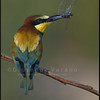Gruccione - ( European ) Bee Eater ( Merops apiaster )<br /> <br /> Giuseppe Varano - Nature and Wildlife Images - Birds and Nature Photography