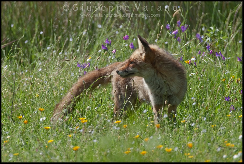 Red Fox ( Vulpes vulpes )<br /> <br /> Monfrague National Park - Extremadura - Spain<br /> <br /> Giuseppe Varano - Nature and Wildlife Images - Birds and Nature Photography