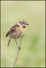 ( Common ) Stonechat ( Saxicola torquatus )<br /> <br /> Extremadura - Spain<br /> <br /> Giuseppe Varano - Nature and Wildlife Images - Birds and Nature Photography