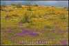 The steppe in bloom<br /> <br /> Extremadura - Spain<br /> <br /> Giuseppe Varano - Nature and Wildlife Images - Birds and Nature Photography