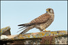 Lesser Kestrels ( Falco naumanni )<br /> <br /> Castilla La Mancha - Spain<br /> <br /> Giuseppe Varano - Nature and Wildlife Images - Birds and Nature Photography