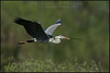 Grey Heron - Airone cenerino ( Ardea cinerea )<br /> <br /> Parco Oglio Sud ( Mn ) - Italy<br /> <br /> Giuseppe Varano - Nature and Wildlife Images