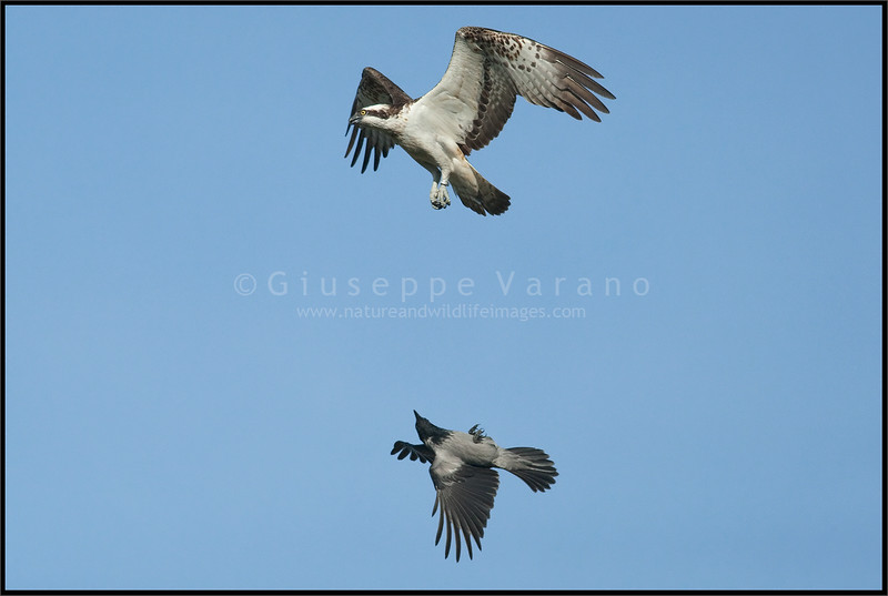 Osprey ( Pandion haliaetus )<br /> <br /> Finland<br /> <br /> Giuseppe Varano - Nature and Wildlife Images - Birds and Nature Photography