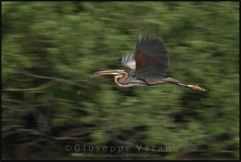 Purple Heron ( Ardea purpurea )<br /> <br /> Parco Oglio Sud ( Mn ) - Italy<br /> <br /> Giuseppe Varano - Nature and Wildlife Images - Birds and Nature Photography