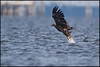 White tailed Eagle - Aquila di mare ( Haliaeetus albicilla )<br /> <br /> Giuseppe Varano - Nature and Wildlife Images - Birds and Nature Photography