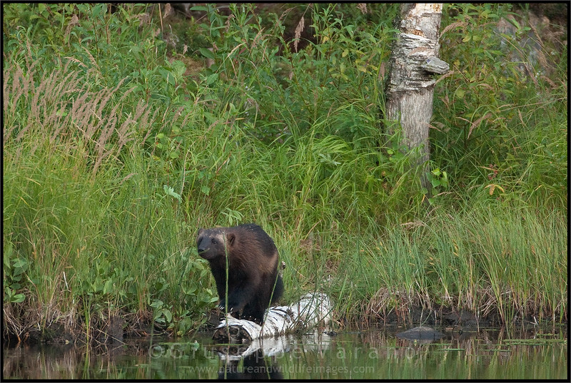 Wolverines ( Gulo gulo )<br /> <br /> Finland<br /> <br /> Giuseppe Varano - Nature and Wildlife Images - Birds and Nature Photography