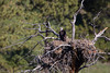 A golden eaglet (Aquila chrysaetos) on the gigantic nest its parents have built. Taken on a private ranch near Columbus, Montana, USA.
