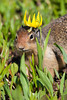 A Columbian ground squirrel (Citellus columbianus) with a glacier lily or dogtooth violet (Erythronium grandiflorum) on its head. Taken on Logan Pass, Glacier National Park, Montana, USA.