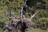 A golden eaglet (Aquila chrysaetos) stretches its wings on the gigantic nest its parents have built. Taken on a private ranch near Columbus, Montana, USA.