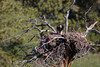 A golden eaglet (Aquila chrysaetos) peers over the edge of the gigantic nest its parents have built. Taken on a private ranch near Columbus, Montana, USA.