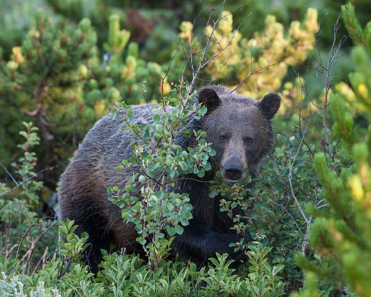 A grizzly bear (Ursus arctos horribilis). Taken in Glacier National Park, Montana, USA.