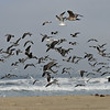 A flock of Western Gulls and Laughing Gulls