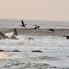 A group of Brown Pelicans flying over the ocean