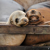A cute pair of resting California Sea Lions