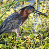 Little green heron gets a snack..