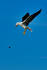 Kelp Gull Dropping Mussels