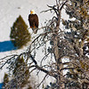 Bald Eagle in winter Idaho