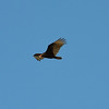 Turkey Vulture 2014-03-16 08-33-48
