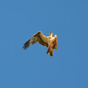 Red Tailed Hawk 2014-03-16 08-34-16