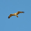 Red Tailed Hawk 2014-03-16 08-34-11