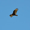 Turkey Vulture 2014-03-16 08-33-49
