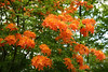 orange flame azalea
