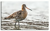 490.Common Snipe. A pretty rare species up here..........