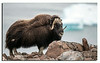 484. This time there was 3 Muskoxen on Northmountain..........