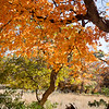 Day 328 - The Amazing Maple's Color<br /> Wed. Nov. 19, 2014