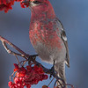 Pine Grosbeak (Pinicola enucleator) Male