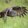 Great Grey Owl (Strix nebulosa) in flight.