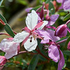 River Beauty, Alpine Fireweed, (Epilobium latifolium) Rare White version