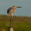 Reddish Egret at Sunset High Island, TX - Oct. 2013